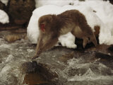 A Japanese Macaque, Macaca Fuscata, Leaps over an Icy Stream Photographic Print by Tim Laman