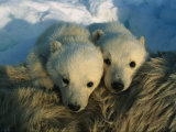 A Pair of Young Polar Bear Cubs Photographic Print by Norbert Rosing