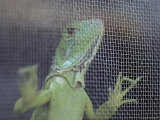 An Iguana Peers from a Wire Mesh Cage Photographic Print by Bill Curtsinger