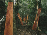 Mahogany Planks Dry Propped up against Trees Photographic Print by Maria Stenzel