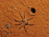 Spider at Burrow Entrance on Sand Dune Photographic Print by Jason Edwards