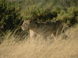 An African Lioness in a Landscape of Dry Grass and Shrubs Photographic Print by Roy Toft