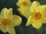 Spring Flowers, Daffodils, Early April, Massachusetts Photographic Print by Darlyne A. Murawski