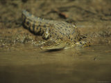 A Saltwater Crocodile, Crocodylus Porosus, Slips into the River Photographic Print by Tim Laman