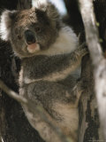 A Koala Bear Clinging to a Tree Trunk Photographic Print by Medford Taylor
