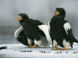 A Pair of Stellers Sea Eagles Standing on Icy Ground Fotografie-Druck von Klaus Nigge