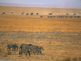 Grazing Zebras and Wildebeest on the Serengeti Plain Photographic Print by Mark Cosslett