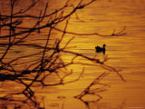 A Silhouette of an Eurasian Coot on the Fitzroy River at Sunset Photographic Print by Jason Edwards