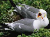 Close View of a Pair of Red-Legged Kittiwakes on a Coastal Cliff Photographic Print by Joel Sartore
