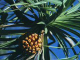 Hawaiian Pandanus with Fruit Photographic Print by Tim Laman
