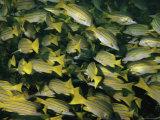 A School of Blue-Striped Snapper Fish (Lutjanus Kasmira) Fotografisk tryk