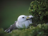 A Red-Legged Kittiwake and Her Chick Shelter on a Rocky Cliffside Photographie par Joel Sartore