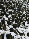 American Bald Eagles Gather on a Snow-Covered Breakwater Fotografisk tryk af Klaus Nigge