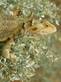 A Lizard Climbing About a Bush Photographic Print by Medford Taylor