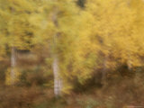 A Blurred View of Birch Trees Along the Mackenzie River Photographic Print by Raymond Gehman