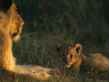 Lioness and her Three-Month-Old Cub Relax in the Sun Photographic Print by Kim Wolhuter