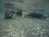 Tired, Tattered and Dying Salmon after the Spawning Migration Photographic Print by Klaus Nigge