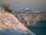 A Sika Deer on a Snowy Hillside Above Lake Mashu, a Caldera Lake Photographic Print by Tim Laman