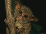 A Tarsier Eating an Insect in a Tree Photographic Print by Tim Laman