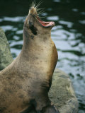 A Captive Seal Yawning Photographic Print by Medford Taylor