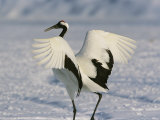 A Japanese or Red Crowned Crane Spreads its Wings in a Dance Display Photographie par Tim Laman
