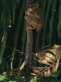 A Tarsier Clinging to a Tree Branch Photographic Print by Tim Laman