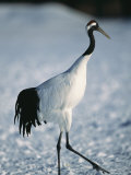 A Japanese or Red Crowned Crane at Akan Crane Sanctuary Photographic Print by Tim Laman