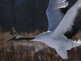 A Japanese or Red-Crowned Crane in Flight Photographic Print by Tim Laman
