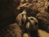 Two Meerkats Look out from the Security of Their Underground Burrow Photographic Print by Mattias Klum