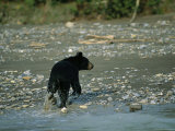 A Black Bear Walks Along the Shoreline of the Mackenzie River Photographic Print by Raymond Gehman