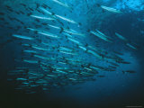 A School of Barracuda and Another Smaller Fish in a Blue Sea Photographic Print by Wolcott Henry