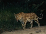 Male Leopard on Patrol at Night Photographic Print by Kim Wolhuter