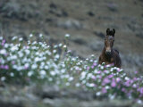 A Wild Horse on a Wildflower-Covered Hillside Photographic Print by Tim Laman