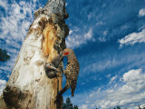 Red Shafted Flicker Feeding its Chicks in a Tree Trunk Nest Photographic Print by Michael S. Quinton
