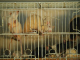 Rats Move About a Cage in Brazil Photographic Print by Joel Sartore
