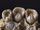 Close View of Shovel-Shaped Neanderthal Incisors Photographic Print by Ira Block