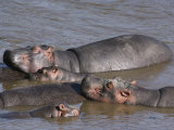 A Group of Hippos Cool off in Water Photographic Print by Medford Taylor
