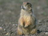 Close View of a Prairie Dog Photographic Print by Annie Griffiths