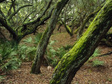 A Forest of Ancient, Moss-Covered Live Oak Trees Photographic Print by Maria Stenzel