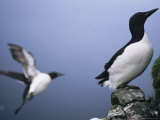 A Thick-Billed Murre Perches on a Cliff While Another Takes Flight Photographie