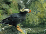 A Tufted Puffin in its Summer Breeding Plumage Photographic Print by Joel Sartore