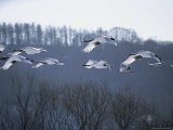 A Flock of Japanese or Red-Crowned Cranes in Flight Photographic Print by Tim Laman