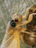 A Brood X, 17-Year Cicada Emerges from its Nymphal Exoskeleton Photographic Print by Darlyne A. Murawski