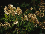 Mountain Laurel in Bloom in Early Morning Light Photographic Print