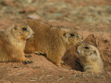 Close View of Three Prairie Dogs at the Entrance to Their Den Photographic Print by Annie Griffiths