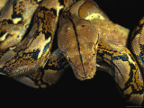 A Reticulated Python Wound Around a Tree Branch Photographic Print by Tim Laman