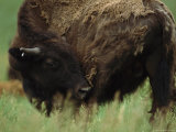 American Bison Shedding its Heavy Winter Coat Photographic Print