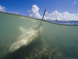 Gray Reef Shark Near Kanton Lies Snared in Local Fishermans Net Photographic Print by Paul Nicklen