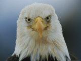 A Portrait of an American Bald Eagle Fotografiskt tryck av Klaus Nigge