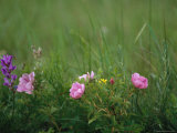 Wild Prairie Roses Bloom Among Grasses Photographic Print by Annie Griffiths